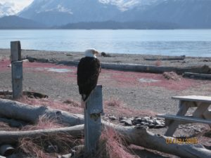 Bald, eagle, homer, alaska, spit